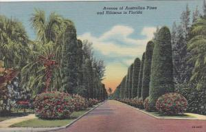 Avenue Of Australian Pines And Hibiscus In Florida Curteiclh
