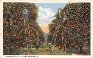 New Orleans Louisiana~Orange Picking Workers on Ladders~1917 Postcard