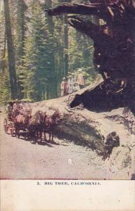 California Big Tree
