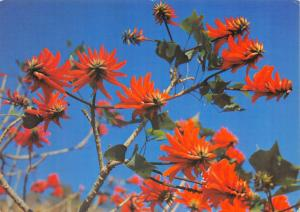 Postcard Kaffirboom, Erythrina Caffra, Flowering Coral Tree, South Africa #M16