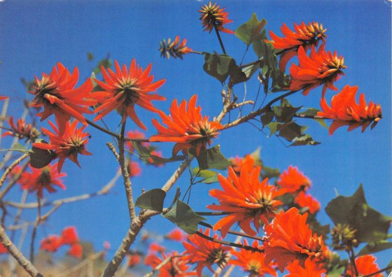 Postcard Kaffirboom, Erythrina Caffra, Flowering Coral Tree, South Africa #M16