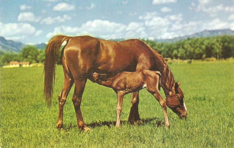 Horse with nyoung colt. Dinner time Nice American PC 1940/50s