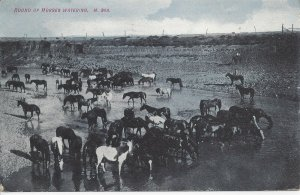 Postcard Chinook MT Montana Round Up Horses Watering Hole Vintage Posted 1909