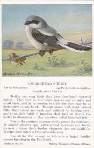 Birds Loggerhead Shrike National Museum Of Canada Ottawa