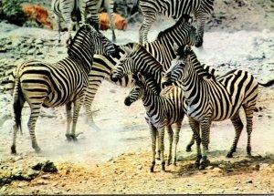 South Africa Burchell's Zebra