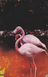Flamingos ... the glamour birds of the South, 40-60s