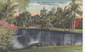 Florida Sarasota Peacock In Sarasota Jungle Gardens 1950 Curteich
