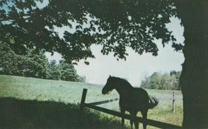 Pastoral Scene With Horse Postcard Tranquil  Orleans County, Vermont