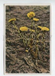 428063 Flower Tussilago Farfara Vintage Sammelwerk Tobacco Card w/ ADVERTISING