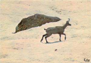 Postcard animals animaux alpine mountains goat-antelope Rupicapra rupicapra
