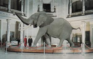 WASHINGTON D.C. , 1950-60s ; Bush Elephant Display, Smithsonian