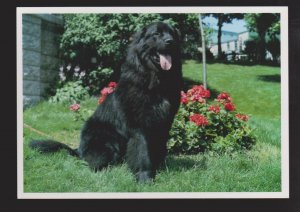 NEWFOUNDLAND - Famous Newfoundland Dog - 1960s - Unused