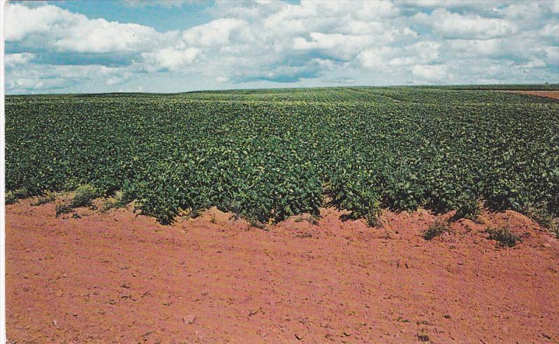 Potato Field in Full Bloom, ALBANY, Prince Edward Island, Canada, 40-60´s