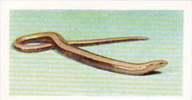 Hornimans Tea Trade Card Pets No 42 Slow Worm