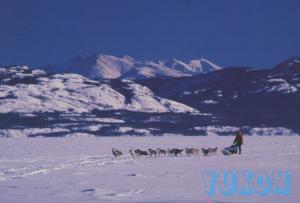 Dog Teams Sleds Yukon YT Sourdough Rondevous Yukon Quest Postcard D10a