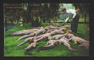 'Feeding Time' Alligator Farm Los Angeles CA Unused c1920s