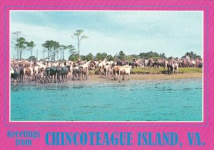Wild Ponies Greetings From Chincoteague Island Virginia