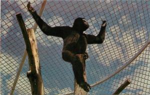 Kamloops British Columbia Canada~Hoolock Gibbon~Trapeze~1960s Postcard