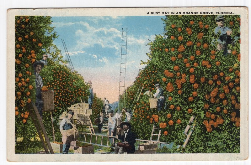 A Busy Day In An Orange Grove, Florida