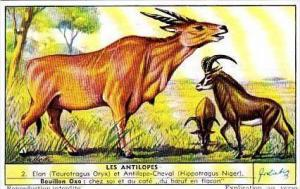 Liebig Trade Card S1559 Antelopes No 2 Elan