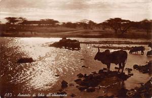 Eritrea Ethiopia Armento di Zebu all' abbeverata, Buffaloes