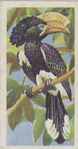 Brooke Bond Tea Vintage Trade Card Tropical Birds 1961 No 2 Crested Hornbill