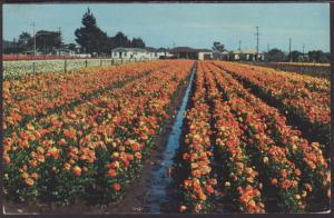 Flowers,Southern,CA Postcard BIN