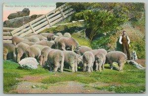 Oregon~Merino Bucks On Sheep Ranch~Modern Shepherd & Dog by Fold~c1910