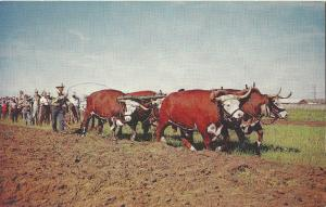 Plowing with Oxen Saskatoon's Pion-Era BC Canada POSTCARD