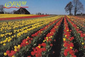 One Of The Many Tulip Farms In The Beautiful Willamette Valley In Oregon Port...