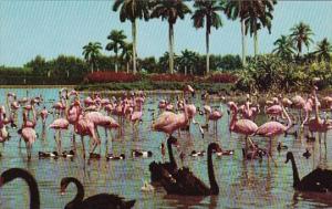Florida Hialeah Flamingos And Swans On The Infield Lake At Beautiful Hialeah ...