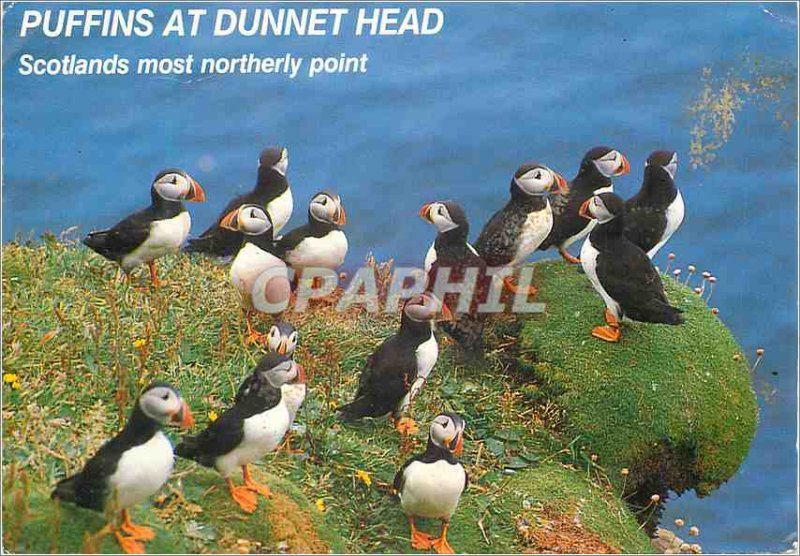 Modern Postcard Scotlands MOST Northerly Point Puffins at Dunnet Head