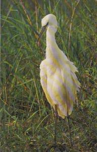 Great Egret Everglades National Park Florida