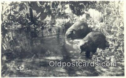 Real Photo - Beavers Bear Postcard,  Bear Post Card Old Vintage Antique  Real...
