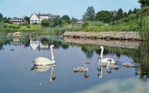 RI - Salt Marshes, Mute Swans