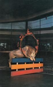 ST LOUIS , Missouri, 50-60s , Lion & Tiger Show