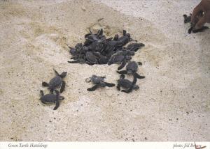 Green Turtle Hatchlings , Cayman Islands , 50-70s