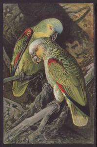Parrots,Speiht Postcard