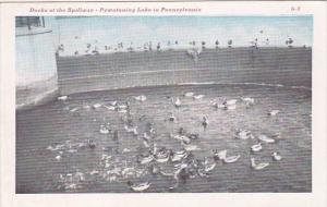Ducks At The Spillway Pymatuning Lake In Pennsylvania