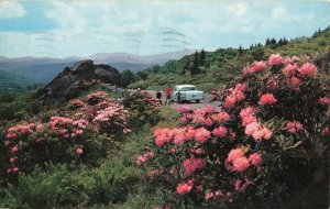 Postcard Red Rhododendron In Bloom Grandfather Mountains North Carolina 1959