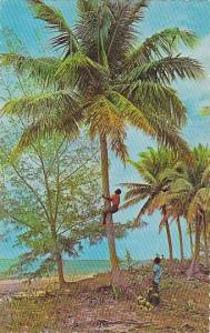 Climbing for Coconuts, Antilles, 40-60s