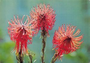 Postcard Protea, Leucospermum Reflexum, Perdekop, South Africa #M17
