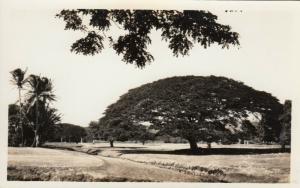 RP: Monkey Pod Tree , Hawaii , 20-40s