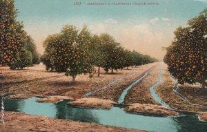 CALIFORNIA, 1900-10s; Irrigating a California Orange Grove