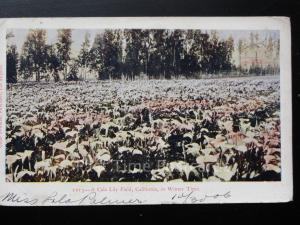 USA: California, A Cala Lily Field in Winter Time c1905 UB
