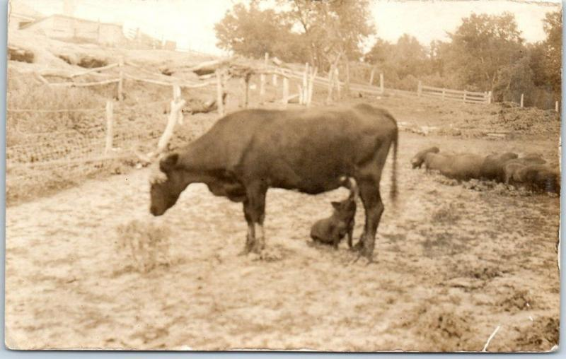 1910s RPPC Real Photo Postcard FARM SCENE Pig Nursing on Milk Cow c1910s