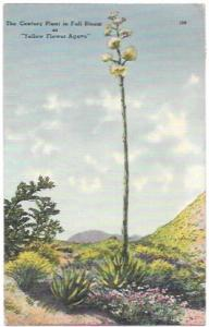 Post Card Century Plant -Southwest Flowering Plant.  Stamped but unused