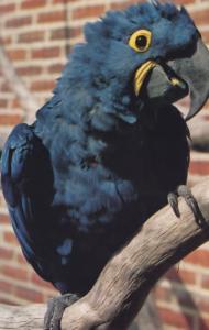 Hyacinth Macaw Birdworld Farnham Surrey Postcard
