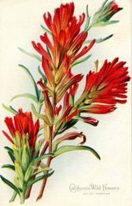 California Wild Flowers Series No. 1 - Indian Warrior