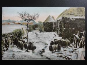 Country Life SHEEP A Shelter from the Storm c1905 by Hartmann 3704.3 Lincoln